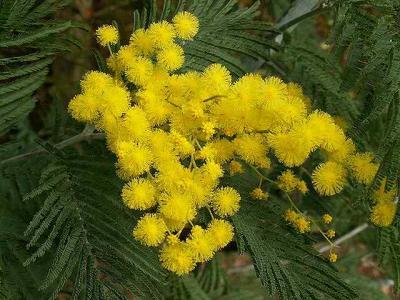 Mimosa web